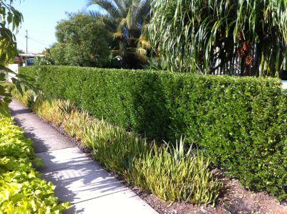 Hibiscus insularis hedge 5.4.2012