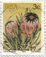 South Africa - Protea neriifolia, Bearded Sugarbush