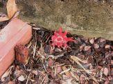 Starfish fungus, Aseroe rubra, October 2008