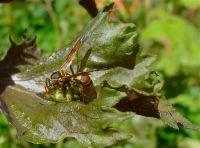 predator: Australian paper wasp, Polistes humilis, catches grasshopper