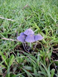 This delicate, but short-lived toadstool appears when autumn dewfall is heavy...
