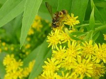 Species 381 found at Bellis: Cerceris sp, a sphecid wasp, drinks Goldenrod nectar