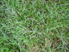 Snow mould, Botrytis cinerea, on fescue turf at Sydney Botanic gardens. It's most frequent in cool humid winters