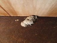 Unknown parasitoid mud dauber wasp nest