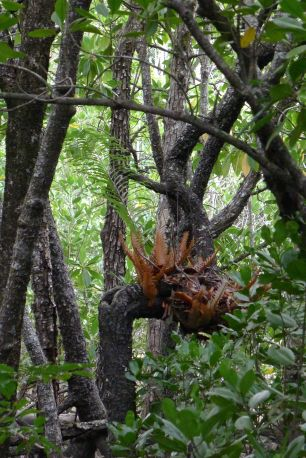 Basket fern, Drynaria rigidula, is leafless during the dry season
