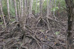 Large-leafed orange mangrove, Bruguiera gymnorhiza, Cairns