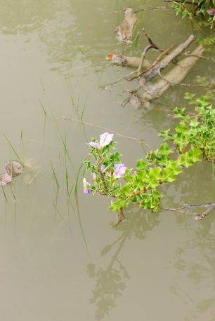 Holly-leaved mangrove, Acanthus ilicifolius, a high tide. Sundarban National Park, Bangladesh