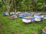 Asian honeybees in the lowlands on the way to Mt Bromo