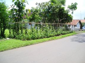 A neat roadside planting of cassava and snake beans in the lowlands...