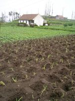 Gardening heaven: onions planted in pockets that gather rainfall. Javanese soil is volcanic, young and deep. At Cemoro Lawang it's indecently moist and fertile.