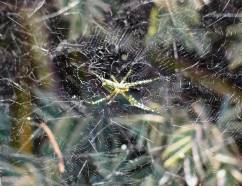 Tent spiders were tricked into thinking it was night during the partial eclipse and started spinning their webs