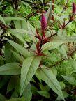 Lagos spinach, Celosia argentea var. argentea, syn. Celosia spicata, a closely related ornamental edible.