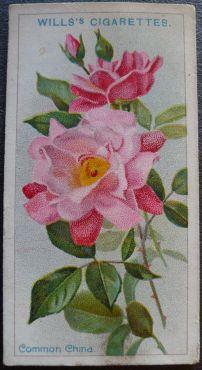 Rose, Common China