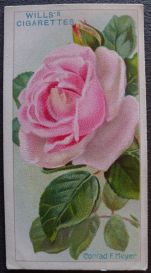 Rose, Conrad F. Meyer, Rugosa