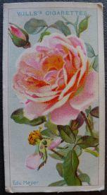 Rose, Eduard Meyer, Hybrid Tea