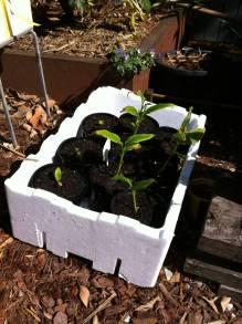 Seedling True cardamom, Elatteria cardamomum