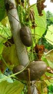 Demand to grow Aerial potato, Dioscorea bulbifera, is still high