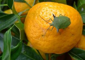 Species 387, the Spined citrus bug (Biprorulus bibax) attacked my mandarin crop, tainting their flavour