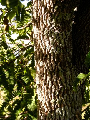 Tamarind bark, Tamarindus indicus
