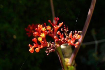 Jatropha podagrica - flowering early