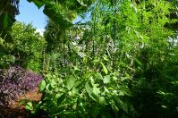 Sacred basil, hasn't stopped flowering since last spring