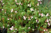 Begonia cubensis has flowered since autumn - it hasn't been affected by the warm weather