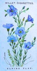 Alpine flax, Linum alpinum, Wills' Alpine Flowers, 1913