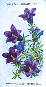 Thyme-leaved harebell, Wahlenbergia serpyllifolia, Wills' Alpine Flowers, 1913