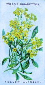 Yellow Alyssum, Alyssum saxatile, Wills' Alpine Flowers, 1913