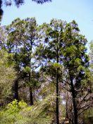 Callitris columellaris var. columellaris