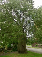 Mature bottle tree, Brachychiton rupestris,