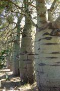 Queensland bottle tree, Brachychiton rupestris
