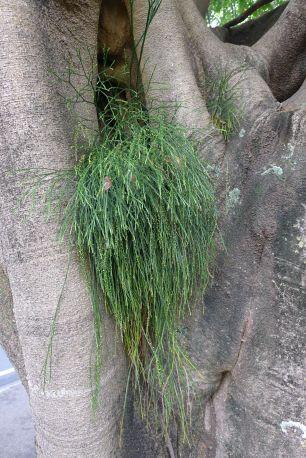 Fork fern, Psilotum nudum, thrives amongst fig trees