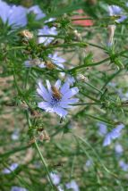 Radicchio, Cichorium intybus