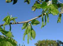 Mulberry flowers, Morus alab var laevigata 'White Shahtoot'