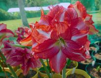 Hippeastrum Double Speak
