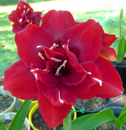 Hippeastrum Port Wine
