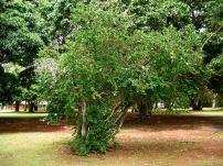 Natal plum, Carissa grandifolia, prior to recent pruning