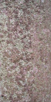 Ormiston Macadamia integrifolia