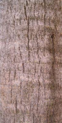 Dwarf Palmetto trunk, Sabal minor