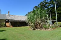 Sugarcane, Saccharum officinarum