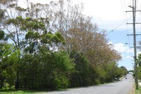 Cyclone Oswald salt spray affected Eucalyptus