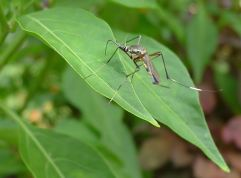 female Predatory mosquito, Toxorhynchites speciosus