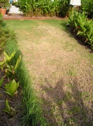 In drought: Sweet Smother grass, aka Durban grass, Dactyloctenium australe