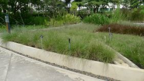 Pennisetum villosum