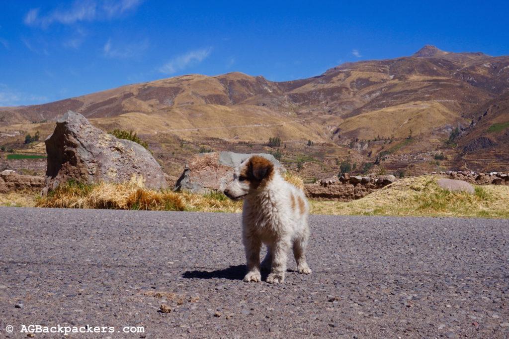 Notre compagnon de route dans la Colca