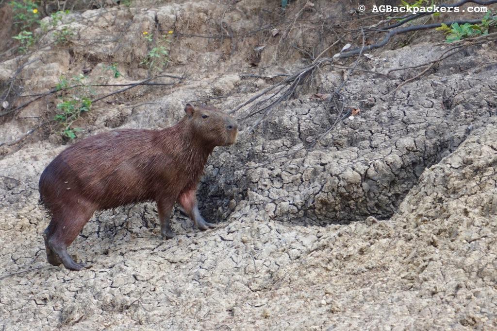 Un capybaras, le rongeur le plus grand de la planète