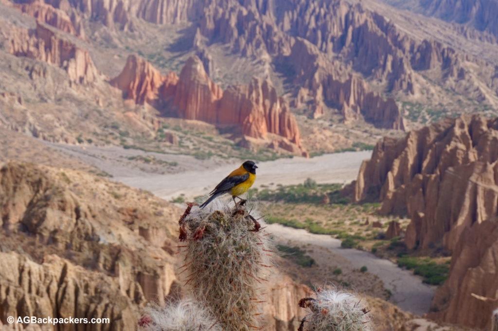 Sur la route d'Uyuni près de Tupiza Sud Lipez Uyuni Bolivie L'oiseau et le cactus au Sud Lipez