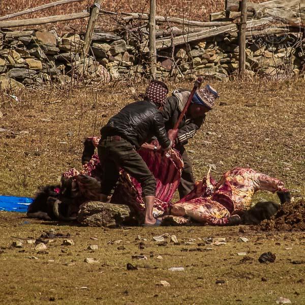 Yak sacrificado por lugareños para producir carne, Manang, Annapurna Circuit, Nepal