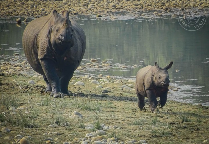 Rinoceronte en el bardiya national park, nepal